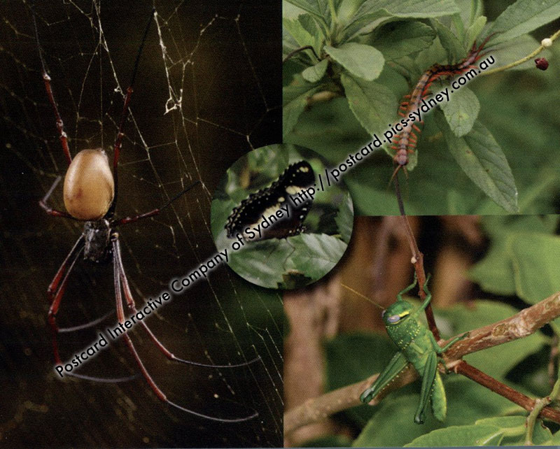 Christmas Island Insects - Centipede, Spider, Butterfly, Hopper