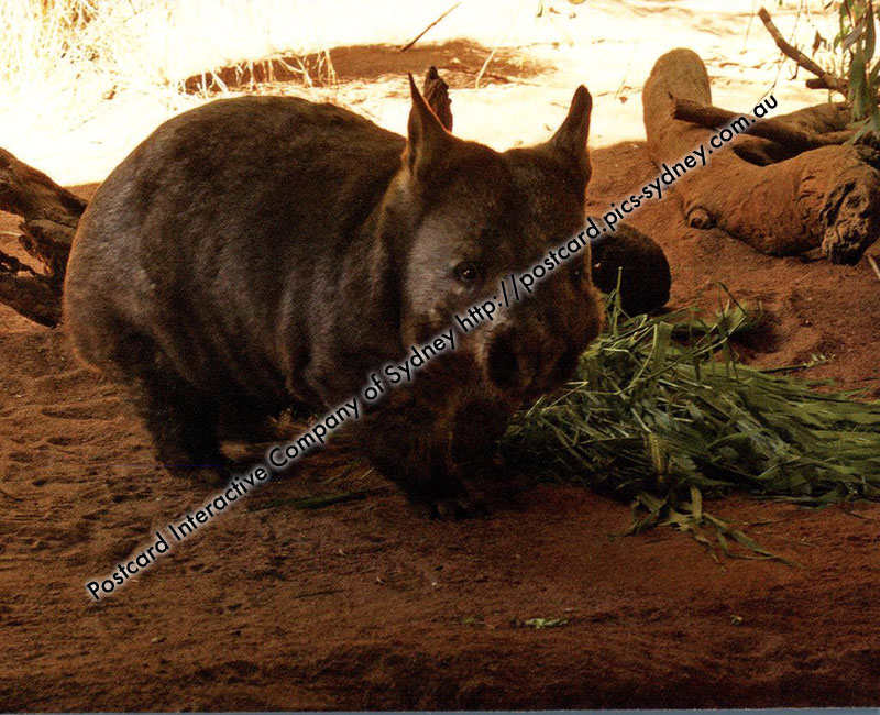Wombat (Southern Hairy-nosed)