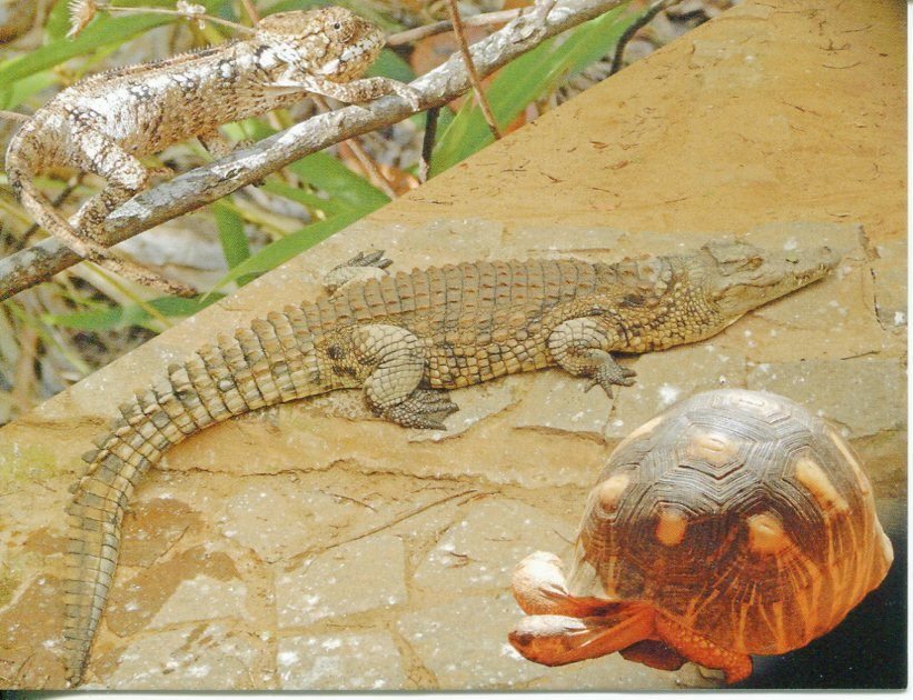 Reptiles of Madagascar - Crocodile - Turtle - Chameleon
