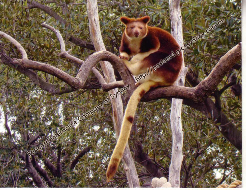 Tree-Kangaroo Goodfellow's