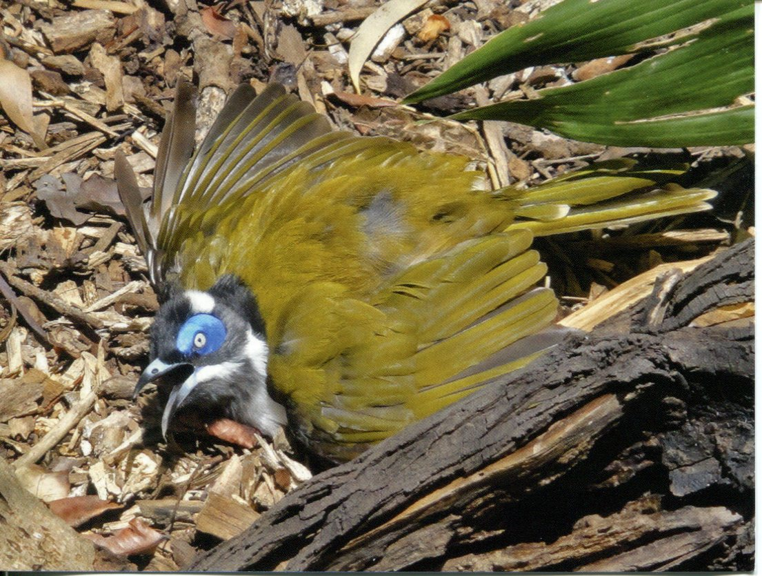 Blue-faced Honeyeater or Bananabird
