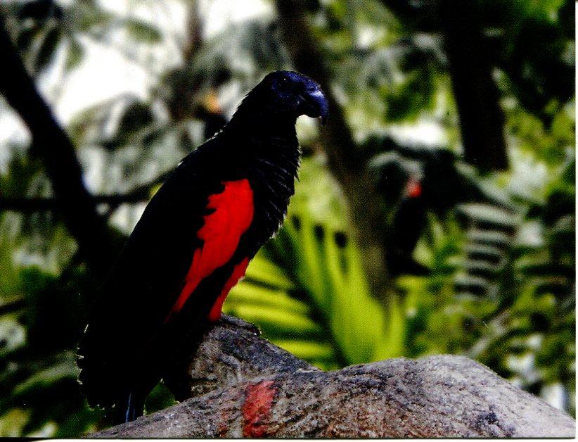 Pesquet Parrot For Sale Pesquet 39 s Parrot