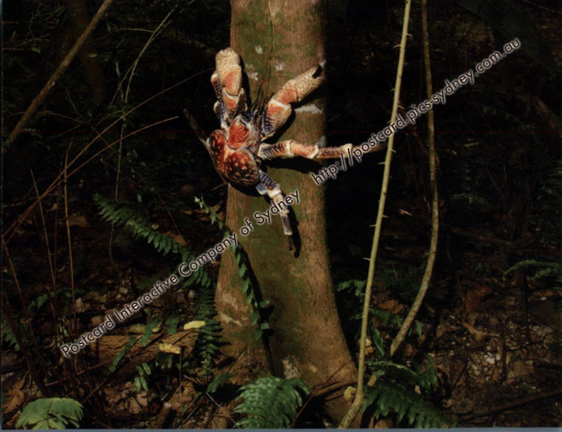 Coconut Crab or Robber Crab (Christmas Island)