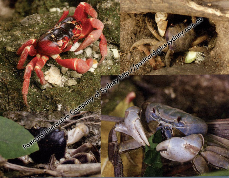Land Crabs of Christmas Island