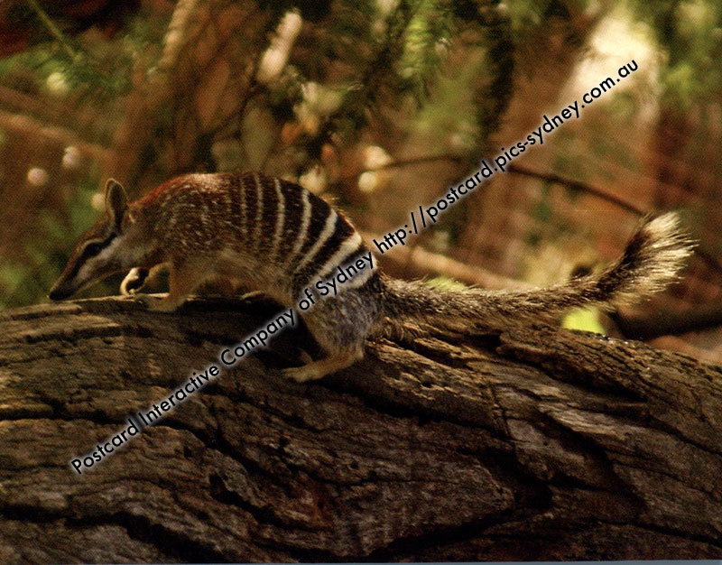 Numbat or Banded Ant Eater