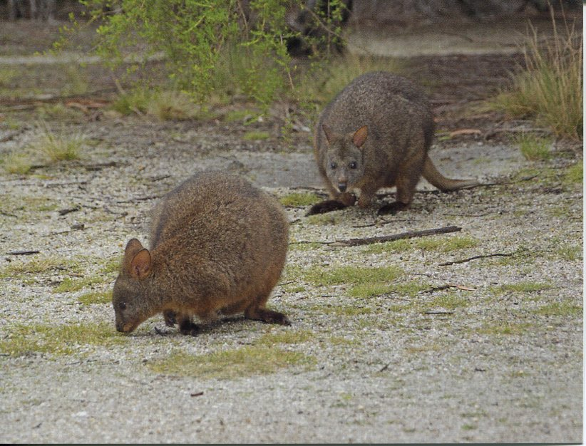 Tasmanian Pademelon or Rufous-bellied Pademelon