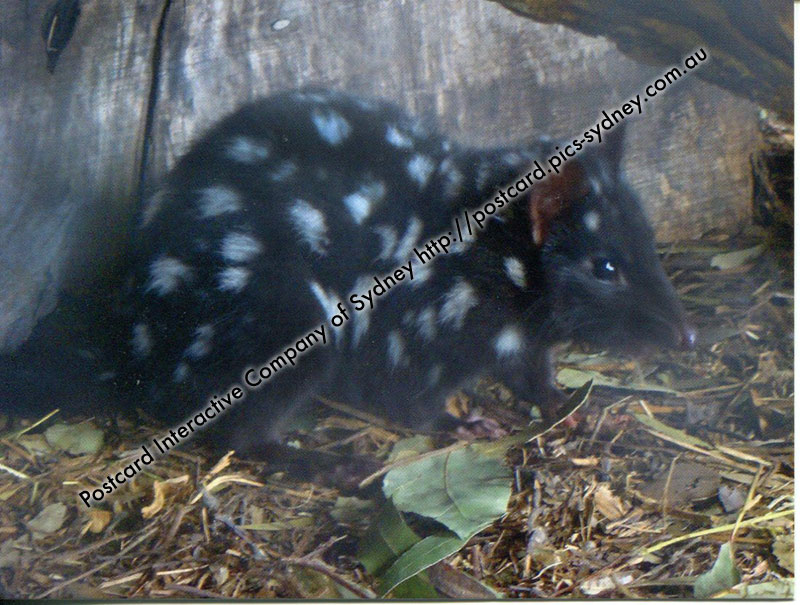 Eastern Quoll or Eastern Native Cat