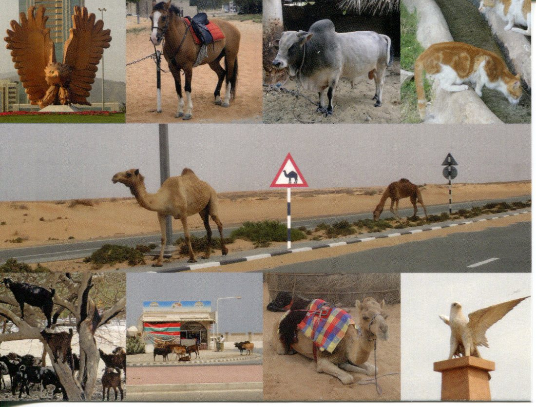 Camel - United Arab Emirates diverse wildlife