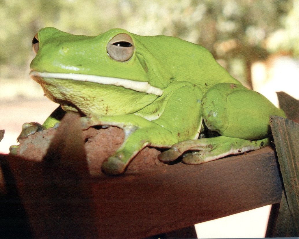 Giant Tree Frog or White-Lipped Tree Frog