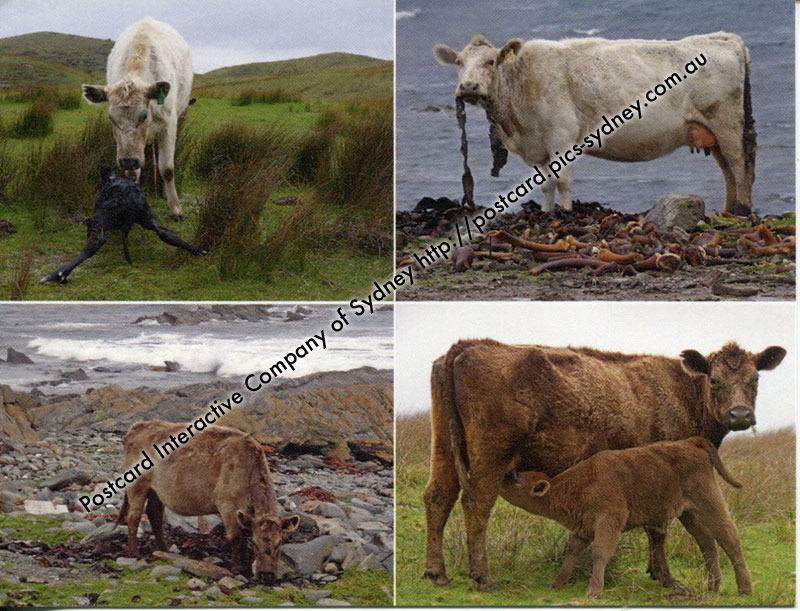 King Island - Cow Farming